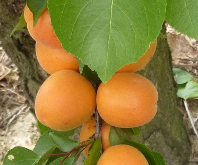 Apricots-Peaches-Nectarines Sylvie Guichard à Châteauneuf-du-Rhône - 3