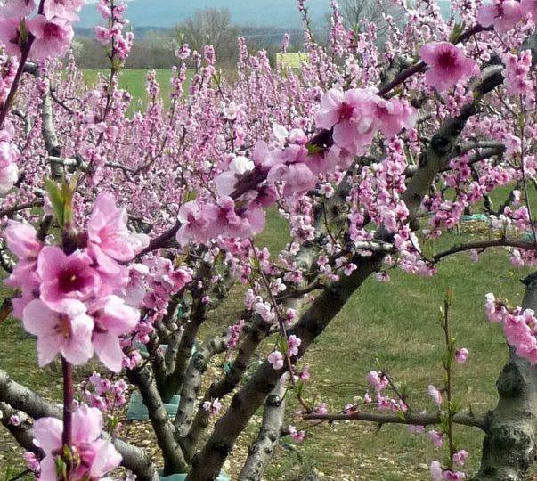 Apricots-Peaches-Nectarines Sylvie Guichard à Châteauneuf-du-Rhône - 2