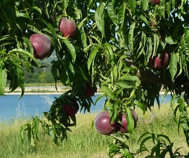 Apricots-Peaches-Nectarines Sylvie Guichard à Châteauneuf-du-Rhône - 1